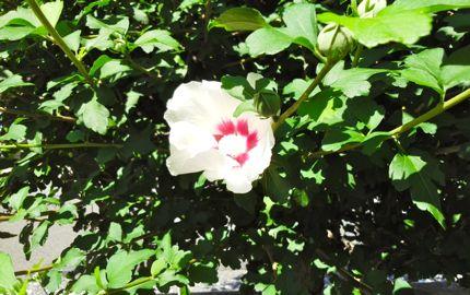 ムクゲ花.jpg
