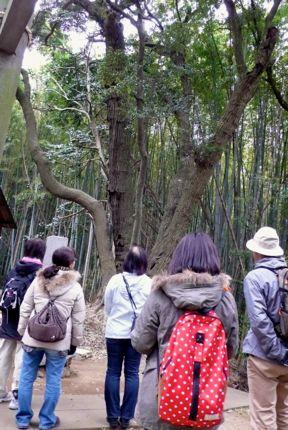 熊野神社 スダジイ.jpg