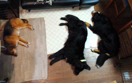 犬の敷物430.jpg